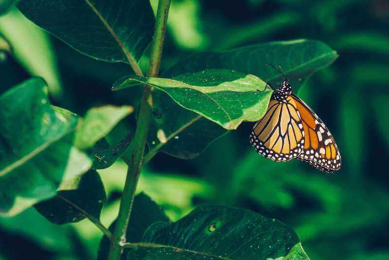 monarch butterfly perched on a plant